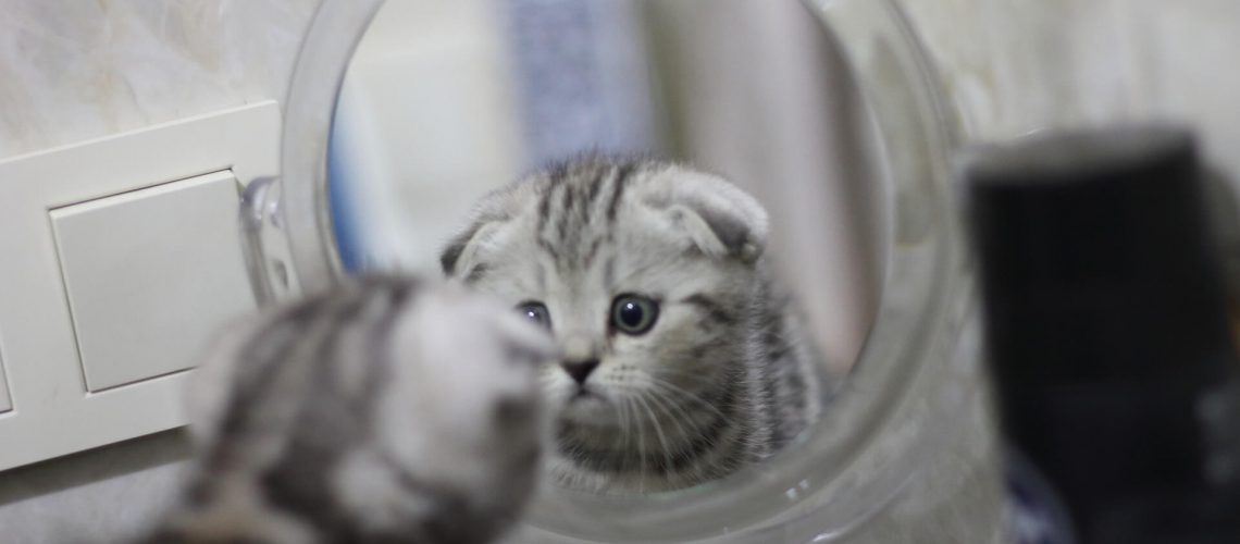 חתול מסתכל במראה